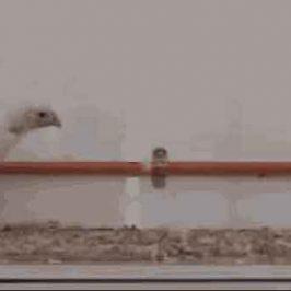 Pollos con cola proporcionan pistas de cómo caminaban los dinosaurios