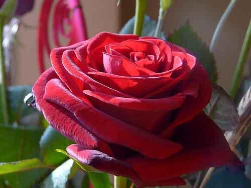 Agua de rosas y agua de azahar