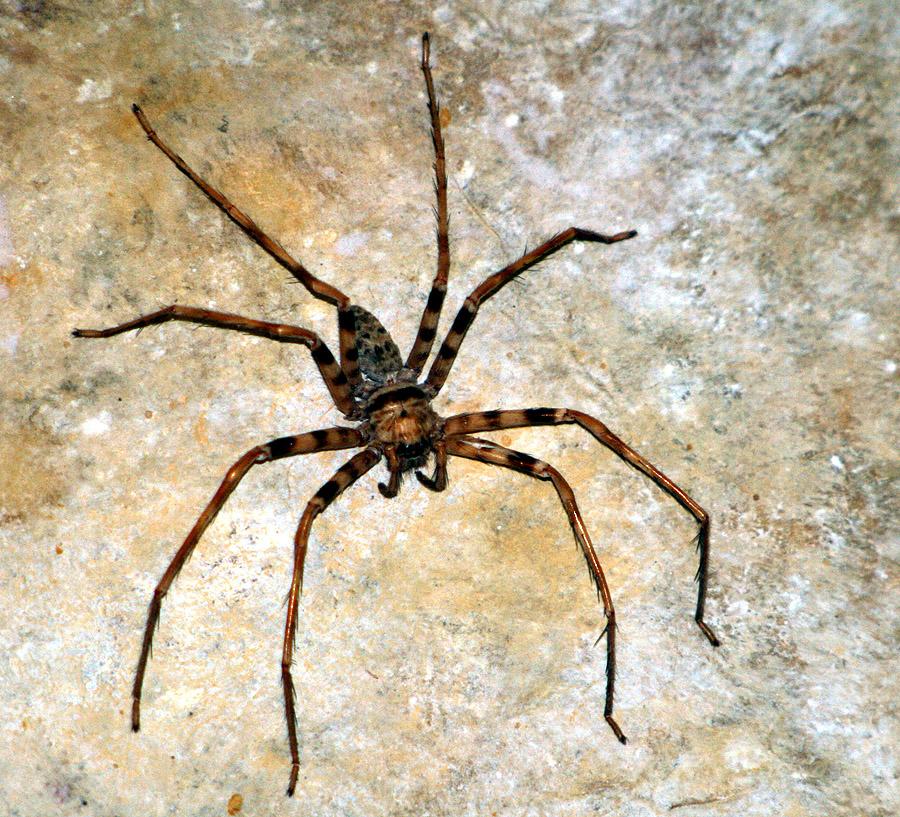 Atrapando una gran araña