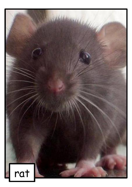 Ratas gigantes andan sueltas!